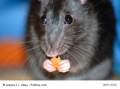 rattenarten in deutschland es gibt nur 2 arten von ratten. Black Bedroom Furniture Sets. Home Design Ideas